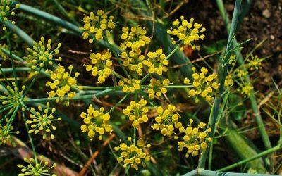 El Hinojo (FOENICULUM VULGARE) como planta reservórea de insectos beneficiosos
